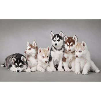 Amazon Com Conversationprints Cute Siberian Husky Puppies Glossy