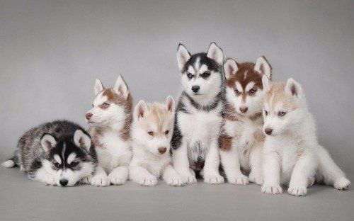 ConversationPrints CUTE SIBERIAN HUSKY PUPPIES GLOSSY POSTER PICTURE PHOTO cool fun puppy dogs