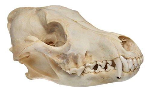 (Real Bone Coyote Skull)