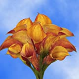 GlobalRose 30 Stems of Orange Color Calla Lilies - Fresh Flowers for Delivery