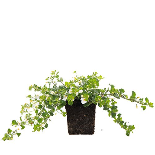 Plants by Post Bacopa Quart Gulliver Live Plant, 4 inches, White