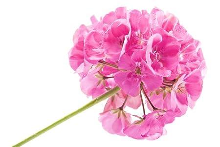 Amazon.com: Rose Geranium (Pelargonium roseum) Pure ...