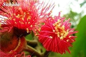 Caliente ! Las semillas del arco iris Eucalyptus deglupta, Perenne Angioesperma flores de la planta, la planta del árbol de eucalipto para jardín 80 PCS 9