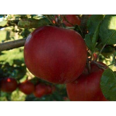 McIntosh Dwarf Apple Tree-Healthy Fruit Trees - Red Apple - 1 Plant from Grandiosy Farm : Garden & Outdoor