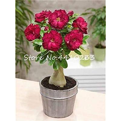 Kasuki 100% True White Desert Rose Bonsai Ornamental Plant Balcony Bonsai Potted Beautiful Flower Adenium Obesum Bonsai - 1 Particles - (Color: e): Garden & Outdoor