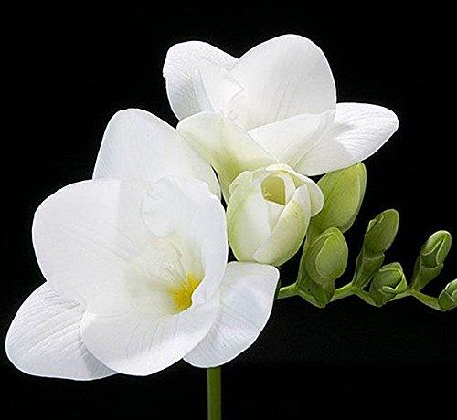 Freesia flowers amazon 15 single white freesia bulbs top size mightylinksfo