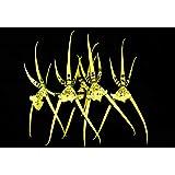 Orquídea Brassia rex