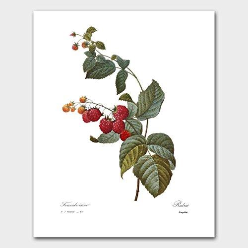 fruit-art-wall-decor-red-raspberry-botanical-kitchen-farmhouse-artwork-redoute-unframed