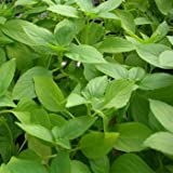 Outsidepride Lemon Basil - 5000 Seeds