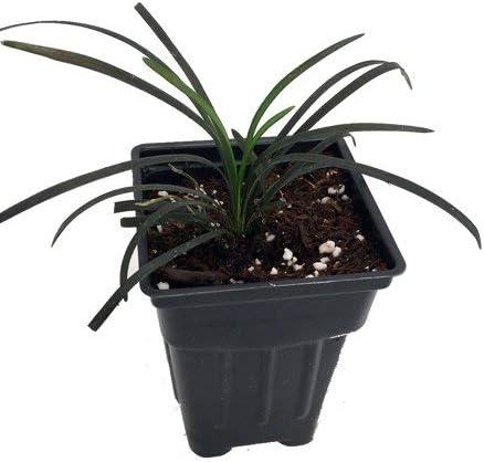 1 PLANT BLACK MONDO FREE P//P WHEN YOU BUY 3+ ITEMS Ophiopogon nigrescens