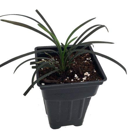 3 Containers of 2.5 Inch Pot of Black Mondo Decorative Grass, Nicely Rooted