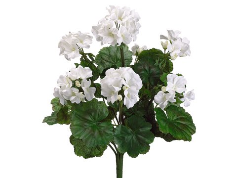 19-Water-Resistant-Geranium-Bush-x9-WHITE-Pack-of-6