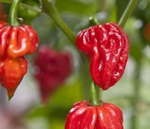 Used, 20 seeds of Naga Viper Extremely Hot chili pepper rare for sale  Delivered anywhere in USA