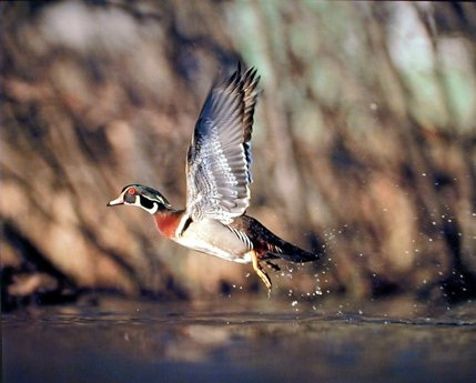 Wild Wood Duck Flying Bird Hunting Animal Wall Decor Art Print Poster 16x20
