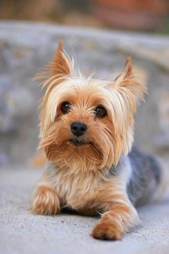 Portrait of a Miniature Yorkshire Terrier Yorkie Photo Art Print Poster 24x36 -
