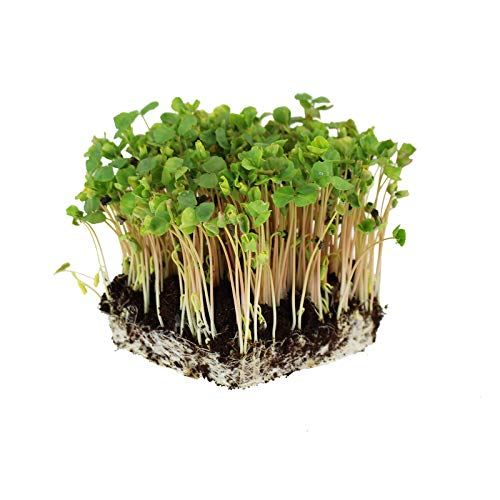 Soil Based Microgreens Seeds Assortment: Micro Greens Seed Collection: Sunflower, Buckwheat, Cilantro, Dun Pea, Rainbow Swiss Chard, Detroit Beets by Handy Pantry (Image #2)