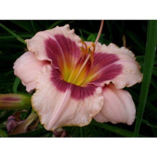 2 Fans Wineberry Candy Daylily Hemerocallis Perennial Plant Purple Pink #NY2 (Candy Daylily)