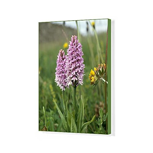 20x16 Canvas Print of Common spotted orchid K991351 ()
