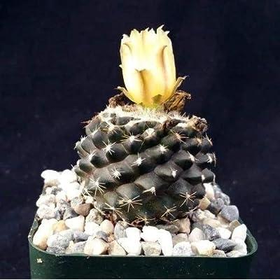Copiapoa tenuissima Cactus Plant - 3.5 inch Pot (2 Plants) : Garden & Outdoor