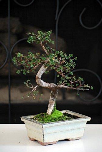 Tree Bonsai Elm Chinese (Chinese Elm Bonsai Tree; New; Free Shipping)