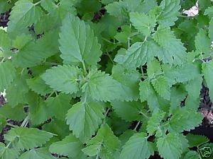 Amazoncom Catnip Great Garden Herb Cats Love It Bulk 5 000