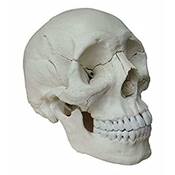 Wellden Medical Anatomical Adult Osteopathic Skull Model 22 Part Life Size Bone