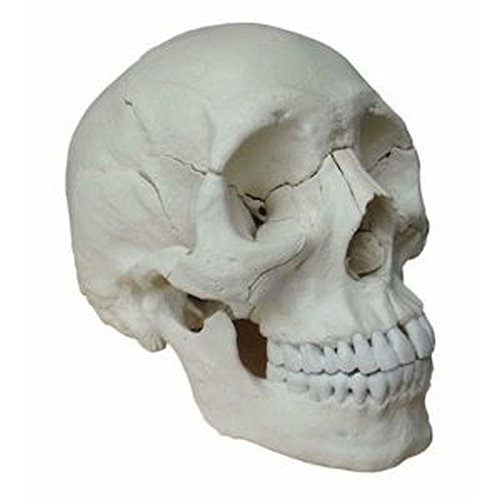(Wellden Medical Anatomical Adult Osteopathic Skull Model, 22-Part, Life Size, Bone)