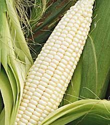 Silver Queen Sweet Corn - 300 Seeds - VALUE PACK!