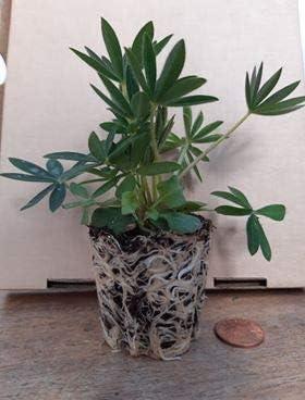 Lupin-Lupine Gallery Pink X 3 Jumbo Plug Plants Garden Ready Perennial