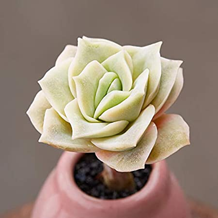 Amazon Com Succulent Echeveria Lovely Rose Rosette Succulent
