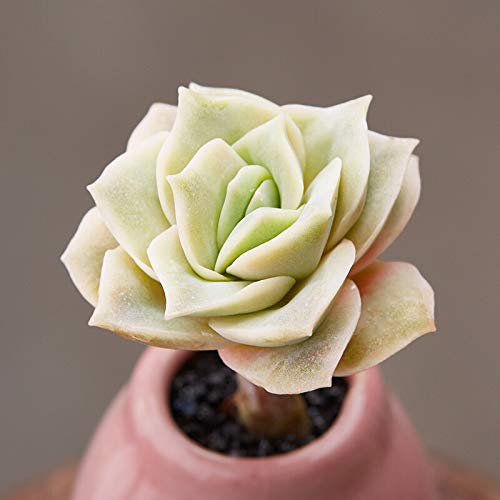 Succulent Echeveria 'Lovely Rose', Rosette Succulent in 2