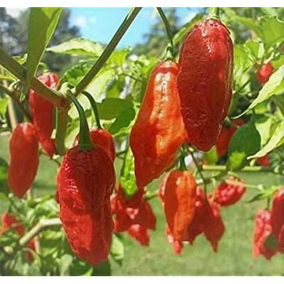 1 Gallon-Ghost Pepper Plant, Hottest Chili Pepper, Often Used to Make Military Grade Pepper Sprays and Pepper Gas Grenades : Garden & Outdoor