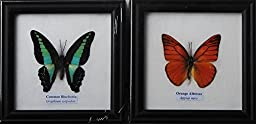 REAL BLUEBOTTLE AND ORANGE ALBATROSS BUTTERFLY DISPLAY INSECT TAXIDERMY IN FRAMED