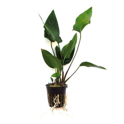 SubstrateSource Anubias hastifolia Arrowhead Live Aquatic Aquarium Plant