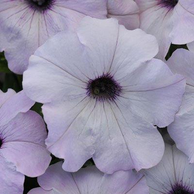 Petunia Seed Germination - Petunia Easy Wave Silver Pelleted Flower Seed 100 Seeds