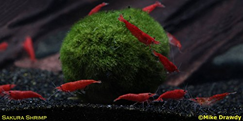 Fire Shrimp - Imperial Tropicals 6 Sakura Grade Cherry Shrimp (6 Live Shrimp + Marimo Moss Ball)