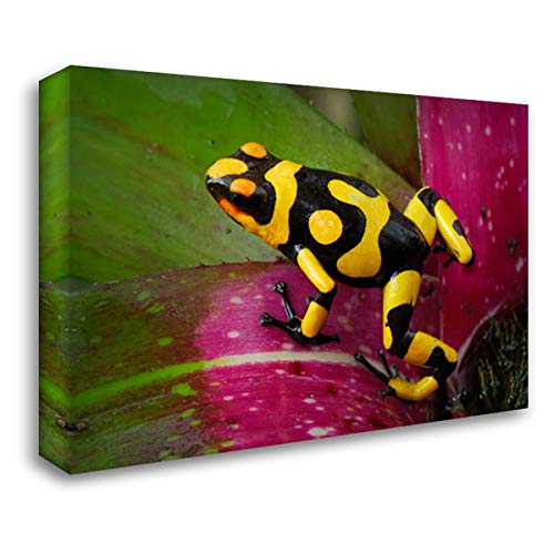 (Harlequin Poison Dart Frog on bromeliad, Cauca, Colombia 40x28 Gallery Wrapped Stretched Canvas Art by Marent, Thomas )