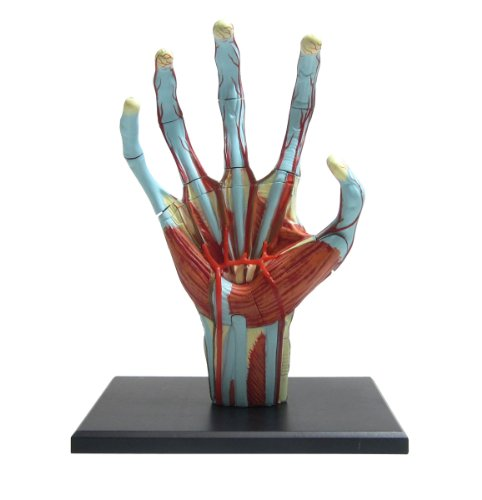 Skynet three-dimensional puzzle 4D VISION Human Anatomy No.05 hand anatomical model