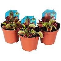 Trio de Plantas Carnívoras Venus Atrapamoscas Dionaea Muscipula Pack de 3 Unidades