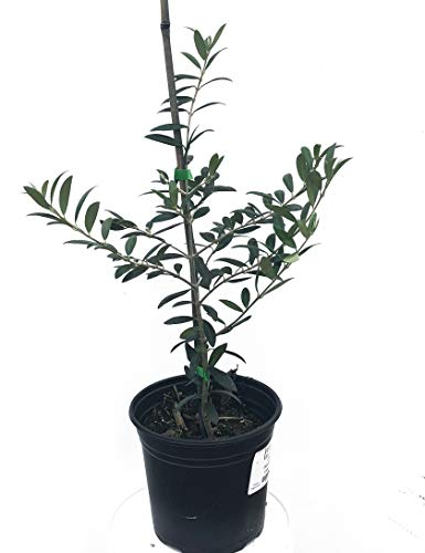 Olive Tree, Arbequina - Live Plant - Arbequina Olive