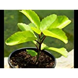 Ojorey Patharchatta Plant / Medicinal Plant