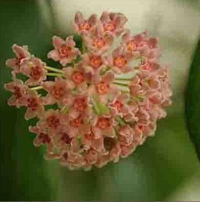 100 pcs Beautiful 21 Kinds Color Available Rare Ball Orchid Flower Seeds Perennial Garden Plant Hoya Carnosa Flower Seeds 6