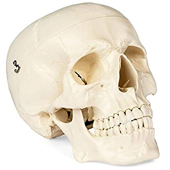 Medical Anatomical Skull Model - 1:1 Life Size Replica Anatomy Adult ...