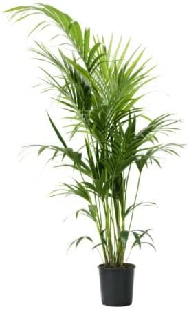 IKEA howea forsteriana - Planta en maceta, Kentia palm - 24 cm: Amazon.es: Jardín