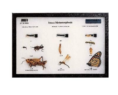 R279 - Insect Metamorphosis Riker Mount - Insect Metamorphosis Riker Mount - Each