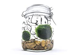 """Enter the fun and strange world of Marimo Moss Balls with our all-inclusive Marimo Aquarium Kit. Each kit contains 2 Giant Marimo that are between 1"""" and 1.5"""". We try to include two Marimos of different sizes so one of your new pet Marimo has..."""