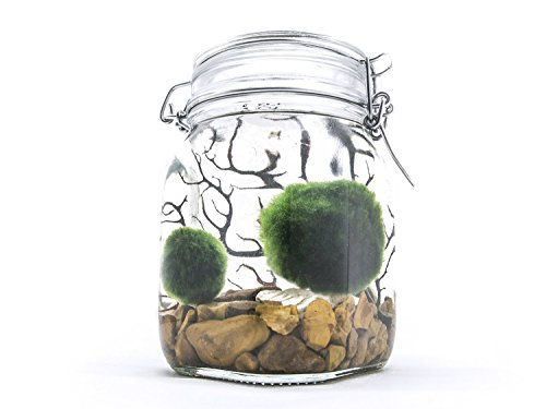 Aquatic Arts Terrarium Kit With Live Marimo Moss Balls - Large Glass Bottle Starter Set for Easy Indoor Plant Terrariums - Natural Centerpiece for Home Decor/Unique Gift Ideas by - Geo Glass Vase