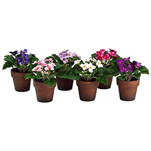 "6"" African Violet in Paper Mache Pot (1 ea/6 colors) Assorted (pack of 6) 3"