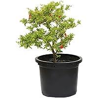 Outlet Garden - Granado Enano - Punica Granatum. Árbol Frutal Natural, Altura: 50 Centimetros Aproximado, Contenedor: 25…