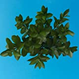 GlobalRose 200 Stems of Fresh Cut Ruscus Leaves - Fresh Flowers Wholesale Express Delivery
